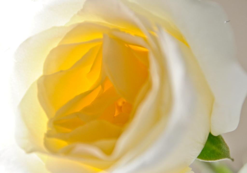 yellow rose1