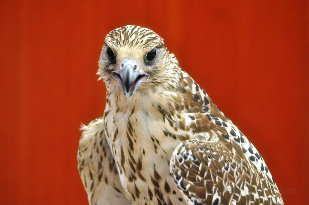 falcon_red